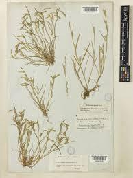 Cornucopiae cucullatum L. | Plants of the World Online | Kew Science
