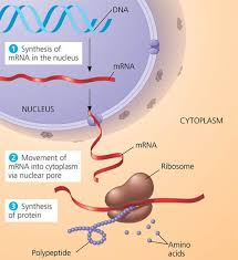 Image result for DNA and protein synthesis