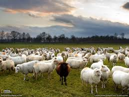 Resultado de imagen de imagenes de rebaños de ovejas