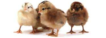 Image result for chicks for sale