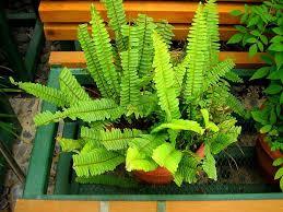 11 sword fern tuberous_sword_fern_mini best office plants no sunlight