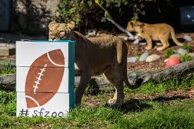 a lion sniffed at a football painted box stuffed with bones at the san francisco zoo box san francisco office 5