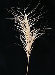Bromus fasciculatus C.Presl   Flora of Israel Online