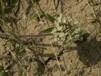 Trifolium noricum