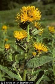 Plants Profile for Inula helenium (elecampane inula)