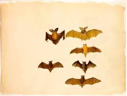 「audubon john james bat」の画像検索結果