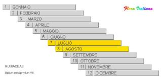 Galium anisophyllum [Caglio alpino] - Flora Italiana