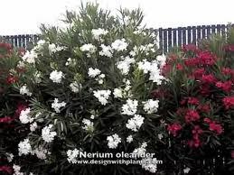 Nerium oleander - YouTube