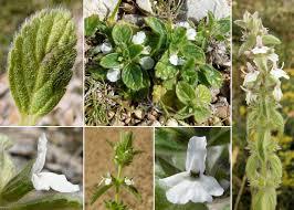 Stachys romana (L.) E.H.L.Krause - Portale alla flora del Parco ...
