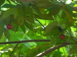 Hasil gambar untuk Pohon Talok