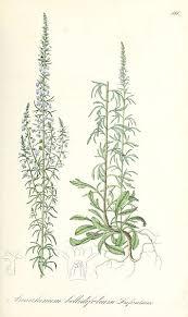 File:Anarrhinum bellidifolium - Flora regni Borussici vol. 9 - t. 581.jpg ...