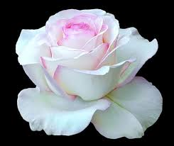 Image result for images of white rose