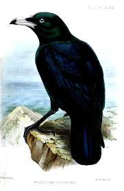 White-billed crow