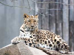 Amur <b>Leopard</b> | Species | WWF