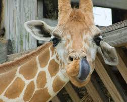 Image result for giraffe cleans its ears with its own tongue.
