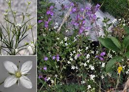 Moehringia muscosa L. - Sistema informativo sulla flora delle Alpi ...