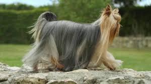 <b>Royal Canin Yorkshire Terrier</b> Wet - YouTube