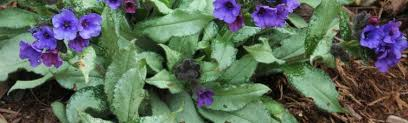 Pulmonaria - The World of Lungworts | Article by Plant Delights ...