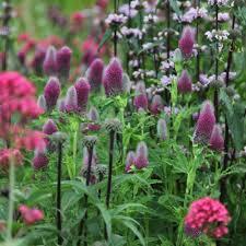 Buy clover Trifolium rubens
