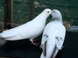 <b>Pigeons kissing</b> and mating - YouTube