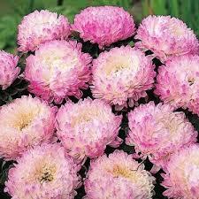 цветок <b>Астра Ангелина</b> (пионовидная розовая) | цветочная ...