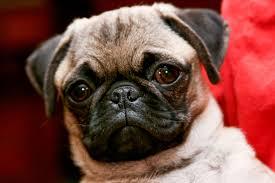 <b>pug</b> - Wiktionary