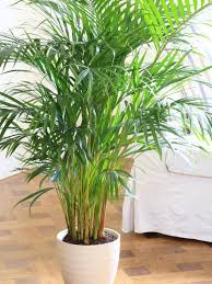 17 best plants to grow indoors without sunlight low light best low light office plants