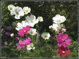 """Résultat de recherche d'images pour """"fleurs cosmos"""""""