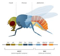 fruit flies in the laboratory stories org an illustration showing the bithorax and antennapedia complexes and how they control