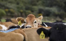 <b>Milk shake</b> - Why the future of dairy looks scary   RNZ