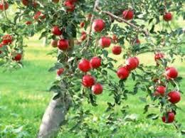 """Résultat de recherche d'images pour """"recolte  la pomme algérienne"""""""