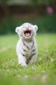Image result for white tiger