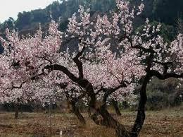 España: Realizan ensayos en busca de árboles más adaptados que den mejores producciones de almendra