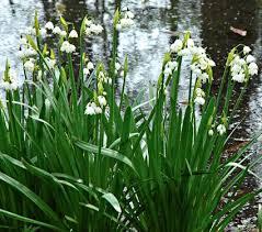 Leucojum aestivum | White Flower Farm