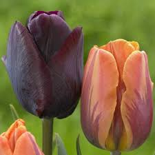 Image result for princess irene tulips