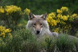 """Résultat de recherche d'images pour """"les loups"""""""