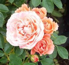 deep apricot patio rose sweet