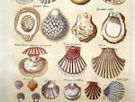 Images & Illustrations of conchology