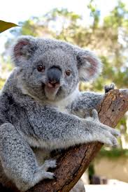 best images about koala s n capital happy koala from n koala fb page