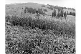 Plants Profile for Arrhenatherum elatius (tall oatgrass)