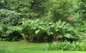 Image result for royal fern