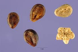 Plants Profile for Bassia scoparia (burningbush)