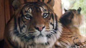 <b>Calvin Klein's Obsession</b> Could Be The Trick To Catching A Tiger ...
