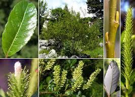 Salix glabra Scop. - Portale sulla flora del Parco Naturale Dolomiti ...