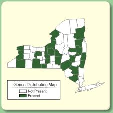 Gentianella - Genus Page - NYFA: New York Flora Atlas - NYFA ...