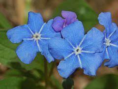 Omphalodes verna - Wikipedia