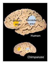 left brain right brain facts and fantasies png