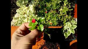 How to grow Baby Sunrose ( Aptenia cordifolia) from cutting - YouTube