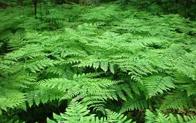 Image result for bracken fern