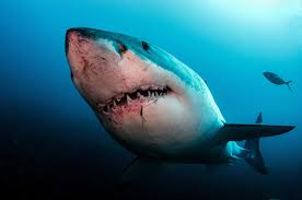 sharks are awesome battle scarred i ur com
